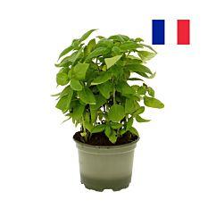 Basilic en pot Bio